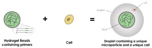液滴下使用水凝胶微粒,DROP-SEQ
