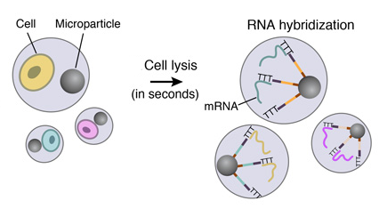 Cell-lysis-RNA-hybridization-drop-seq-microfluidics-single-cells-analysis-ARN-AND-barcode-complex-tissue